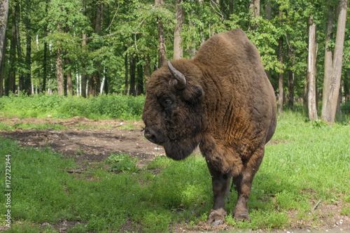 Fotobehang Bison Бизон в заповеднике