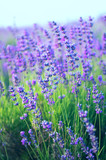 Lavender on the field in the spring evening. - 172726356