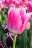 il tulipano  - 172727924