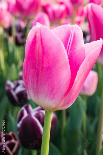 Poster il tulipano