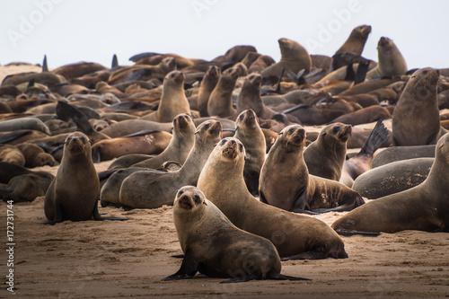 sea lion (Eumetopias jubatus) Poster