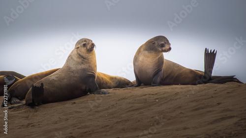 Fridge magnet sea lion (Eumetopias jubatus)