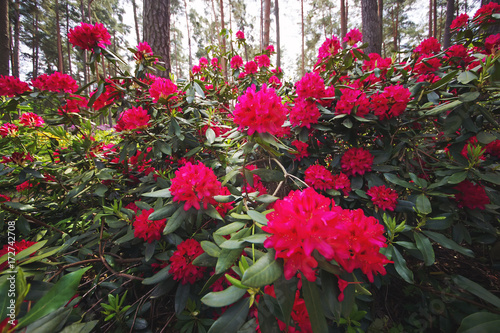 Fotobehang Azalea Pink Rhododendron flowers blooming outdoors in the garden in summer