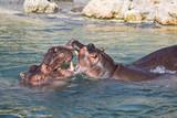 hippopotame - 172746943