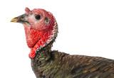 turkey (Meleagris gallopavo f. domestica) isolated on a white - 172747136