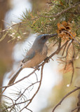 Pinyon jay picking seeds from the cone of a pinyon pine tree - 172758142