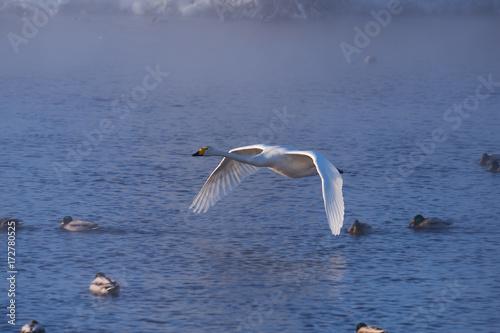 Fotobehang Zwaan Swans fly in mist on altai lake Svetloe