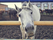 The white horse looks directly into the camera. Horse close-up. A funny portrait of a horse. Funny horse muzzle.