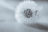 Soft focus of Dandelion seeds