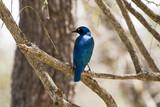 Blue Glossy Starling - 172805112