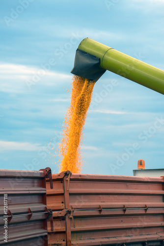 Corn maize harvest, combine harvester unloading grains