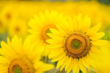 Sunflowers garden under the big tree in Khao Yai of Thailand