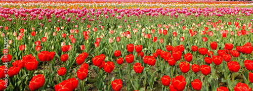Foto op Canvas Rood Tulip. Beautiful field garden of tulips. colorful tulips. tulips