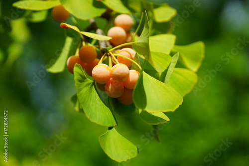 Foto Murales Green fan-shaped leaves and yellow nuts of the ginkgo biloba tree