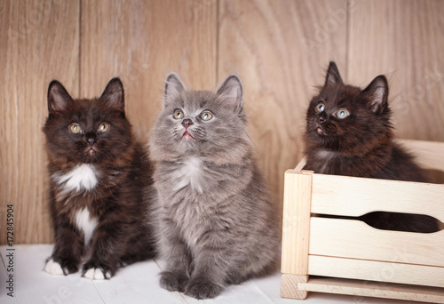 Three funny and cute black Kurilian Bobtail cats are sitting.