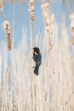 Red-winged Blackbird - 172846363