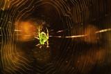 fantastic natural background a bright spider on a cobweb