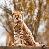 Cheetah cub - 172871390