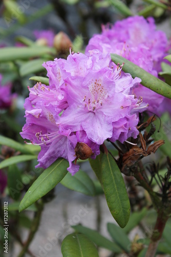 Plakat rododendron