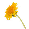 Dandelion flower isolated on white background cutout - 172886500