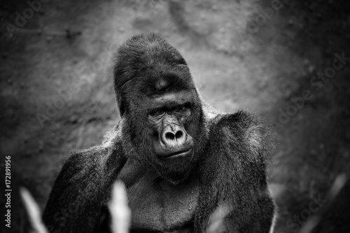 Portrait of a gorilla male, severe silverback, on light brown blur background. Grave look of the great ape, the most dangerous and biggest monkey of the world. The chief of a gorilla family. APE © Baranov