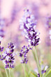 Lavender flowers. - 172892940