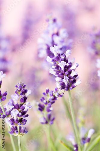 Fototapeta Lavender flowers.