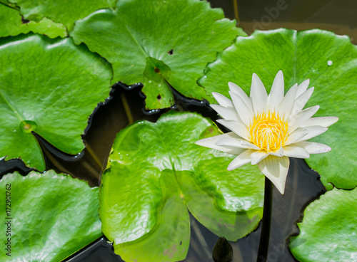 White water lilly in the pond
