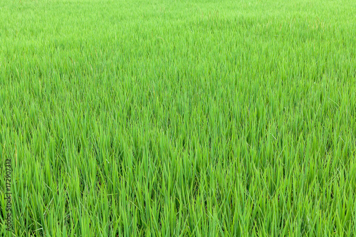 Poster Lime groen Green rice field