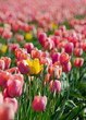Tulip field of pink and yellow - 172911305