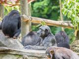 close up of a chimpanzee - 172918717