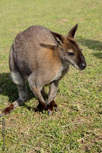 Aluminium Kangoeroe Kangaroo meadow