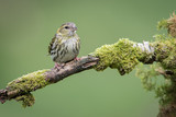 a female siskin sitting perched on a branch looking slightly to the right with a plain green background and space around - 172930775