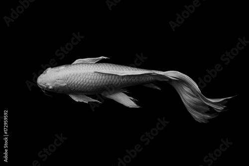 White Butterfly Koi Fish On Black Background