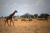 tanzania safari - 172973710
