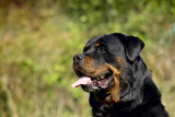 Rottweiler - Perfect Breed Representative - 173005938