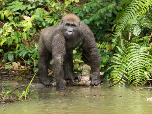mata magnetyczna Gorilla in Gabon Endangered eastern gorilla in the beauty of african jungle  (Gorilla gorilla)