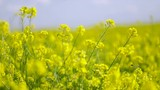 Mustard flowers. Mustard – mystical flower of happiness and health. - 173085709