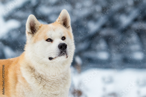 Japanese Dog Akita Inu Winter Background Poster