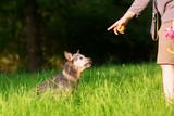 Man with an Australian cattledog outdoor