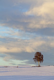 Birke im Winter