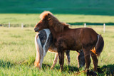 Couple of icelandic horses - 173225521