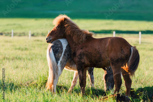 Couple of icelandic horses Poster