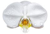 fleur blanche d'orchidée, fond blanc