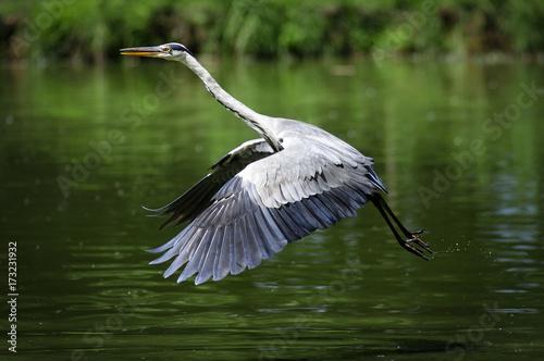 Airone cenerino che si alza in volo da un laghetto