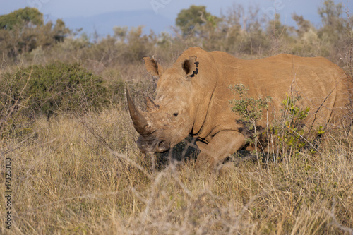Fotobehang Neushoorn Rhino walking in African bushes
