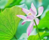 Pink Lotusflower with bright green leaves. Nelumbo nucifera. - 173234562