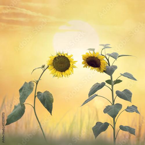 Beautiful blossom of sunflowers