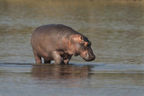 HIPPOPOTAMUS AMPHIBIUS, South Africa - 173243378