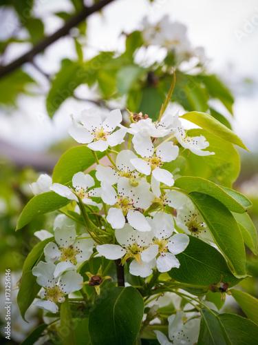 Foto op Plexiglas Landschappen Blossoming pear tree. Summer background. Spring. Flowering branch